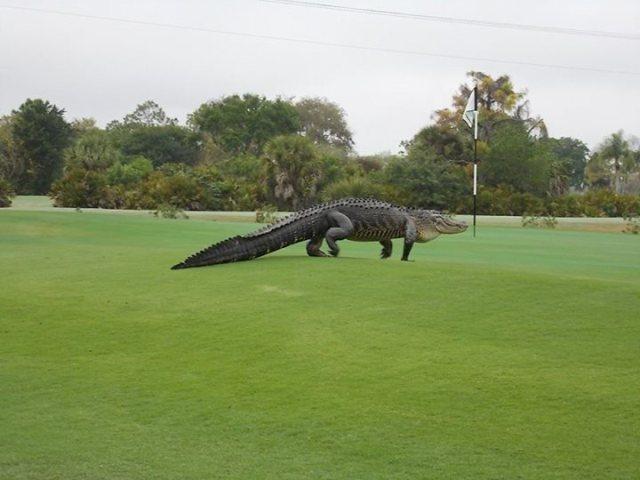 courtesy of Myakkas Golf club