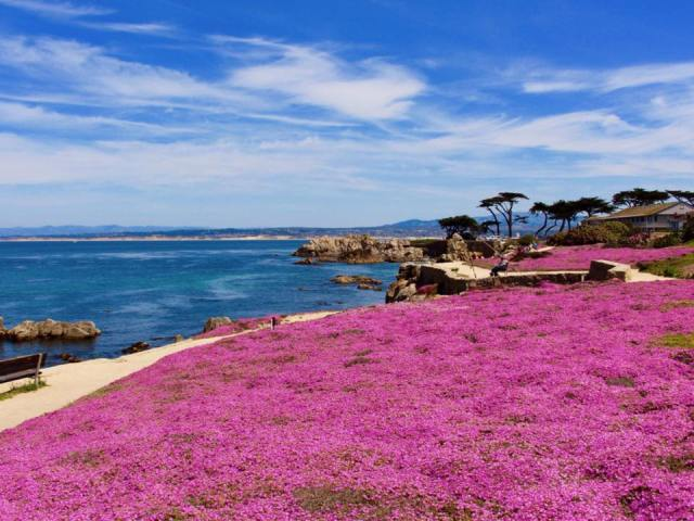 purple carpet at pacific grove by gene barclift facebook you know youre from pg