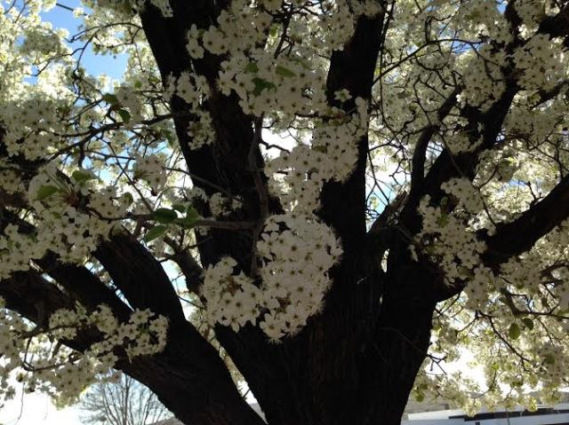flowers white tree with brown bark in st george ut
