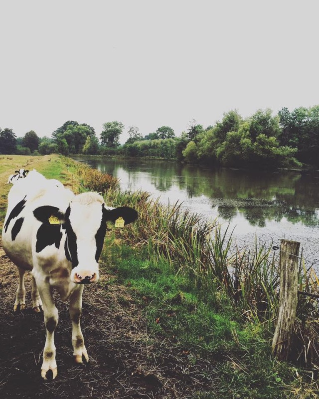 cow-black-and-white-cow-from-decor-8-daily-blog