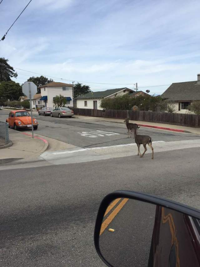 deer-in-road-in-pac-grove-from-carlotta-villarreal-pacific-grove-faceb0ok-site